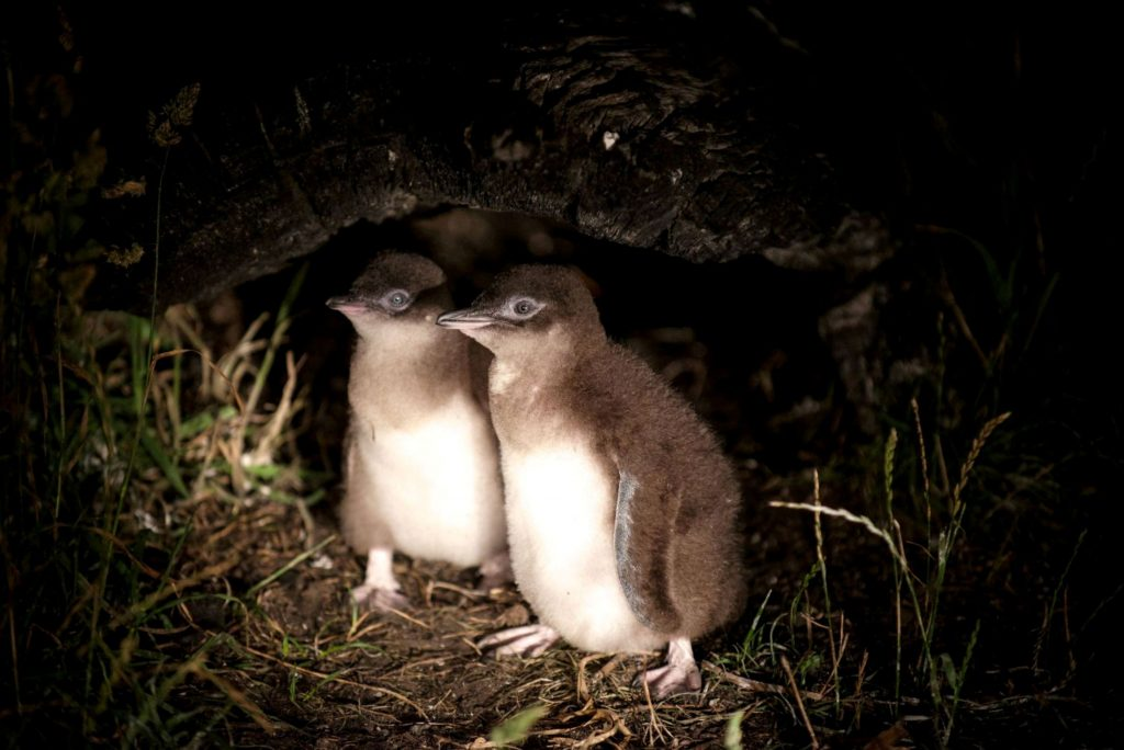 to pingvin unger venter på mad