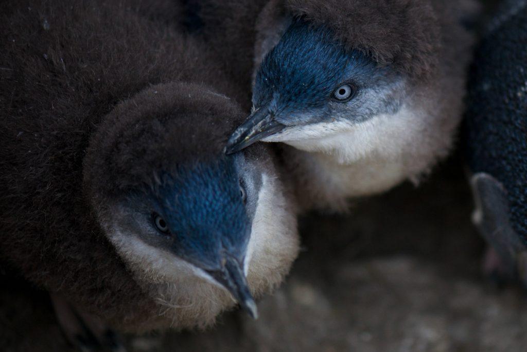 Blue penguin unger i reden