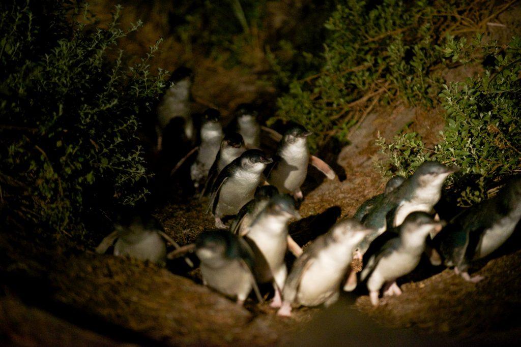 pingviner på vej op fra stranden