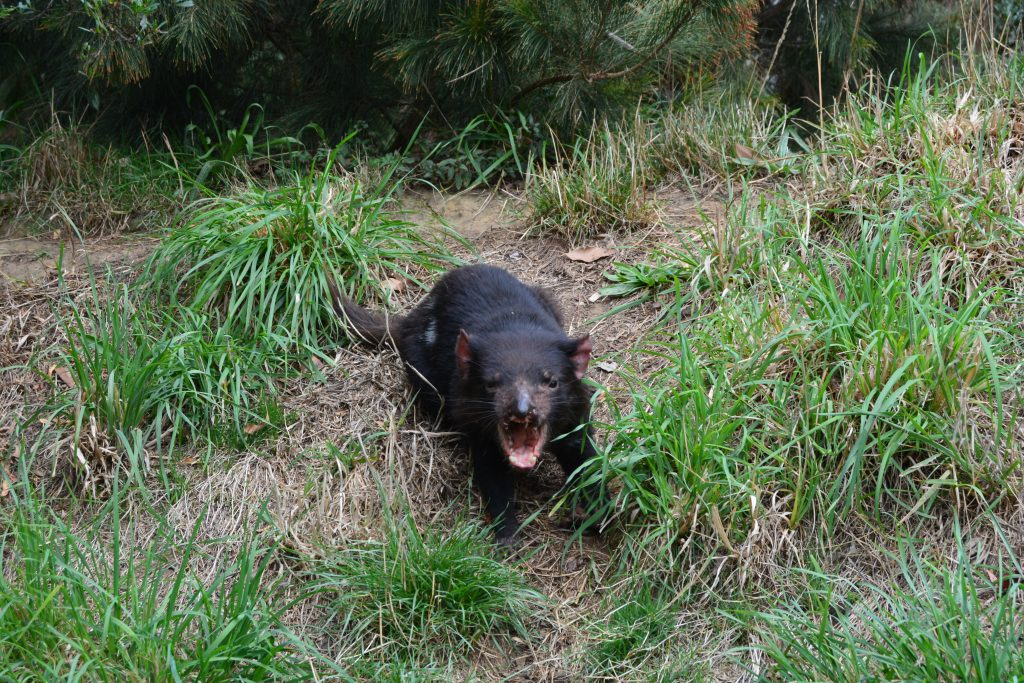 Tasmansk Djævel betragter os