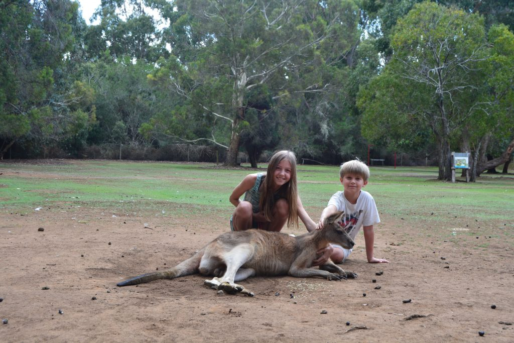 Kælen kænguru
