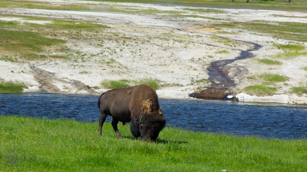 Bison ved Firehole River