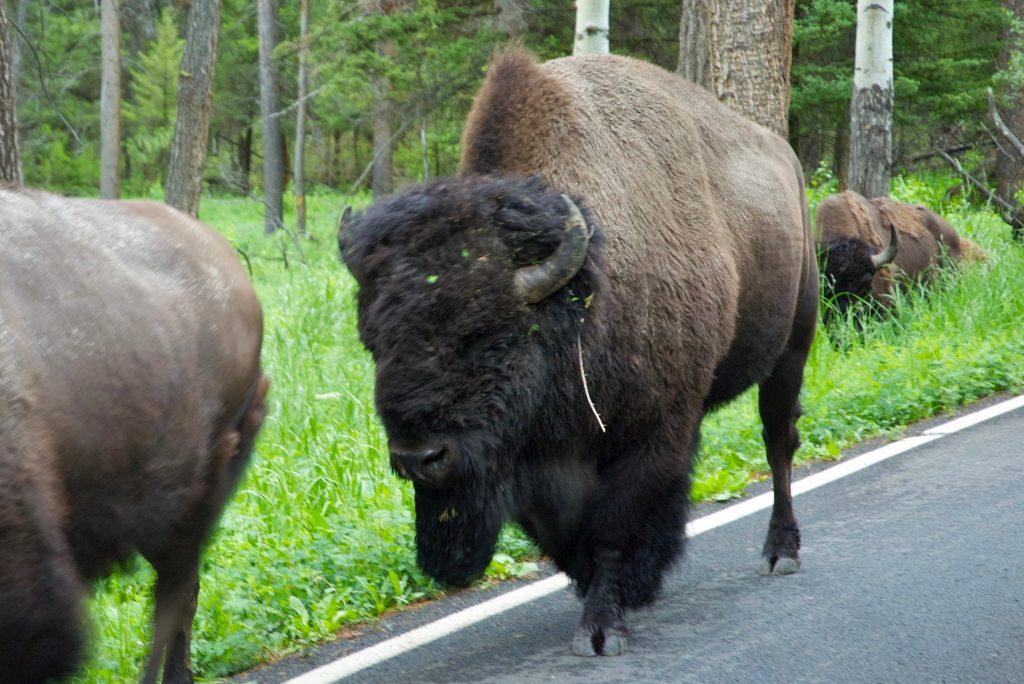 Bisonflok på vejen i Yellowstone