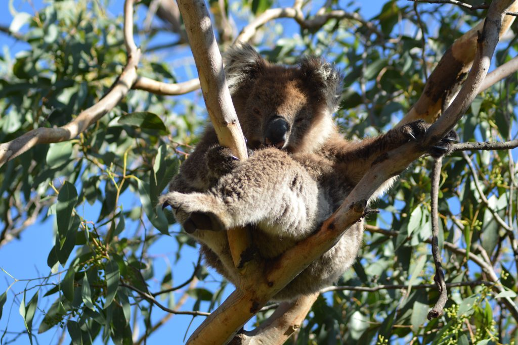 Koala Great Otway Great Ocean Road