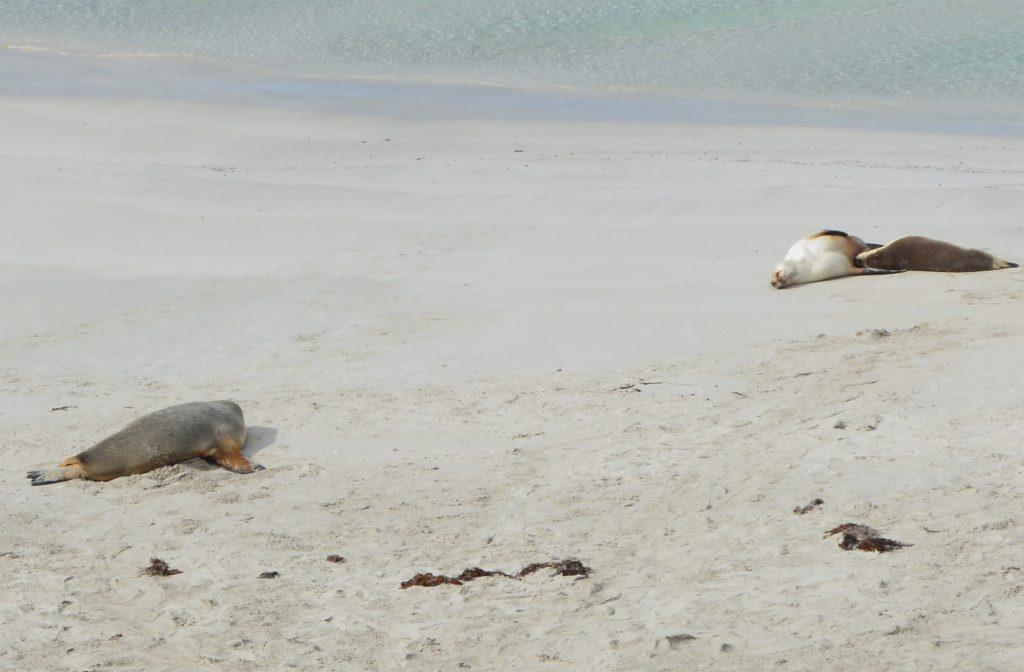 dovne søløver Seal Bay