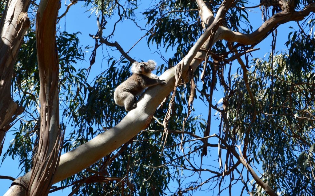Koala på Koalastien Western KI Caravan Park