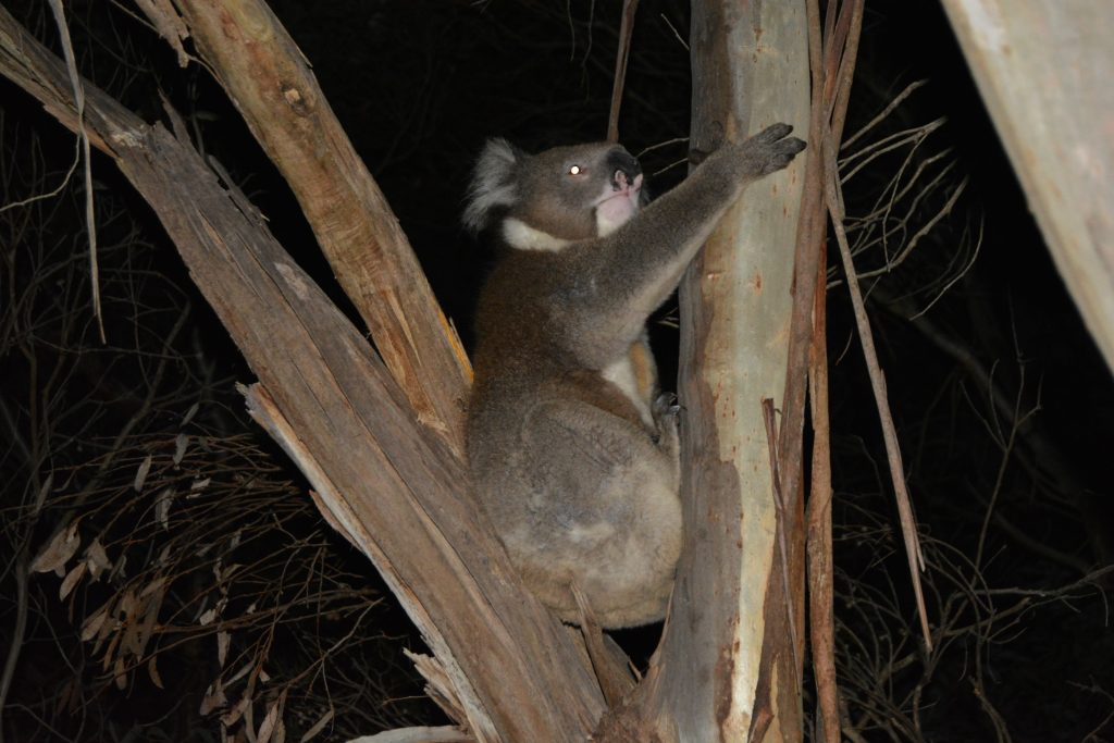 larmende koala