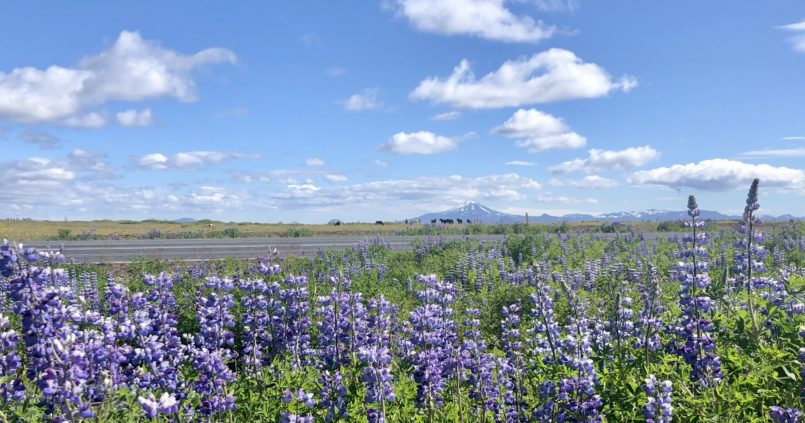 lupins iceland